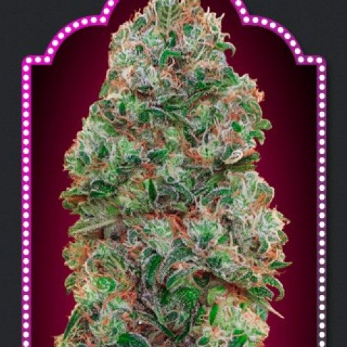 Bubble Gum Feminized - 420seeds.ca