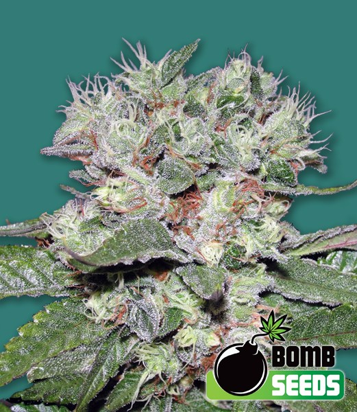 CBD Bomb Feminized - 420seeds.ca