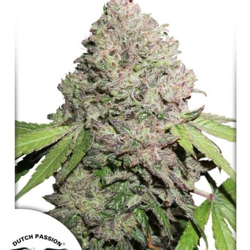 Charlotte's Angel CBD Feminized - 420seeds.ca