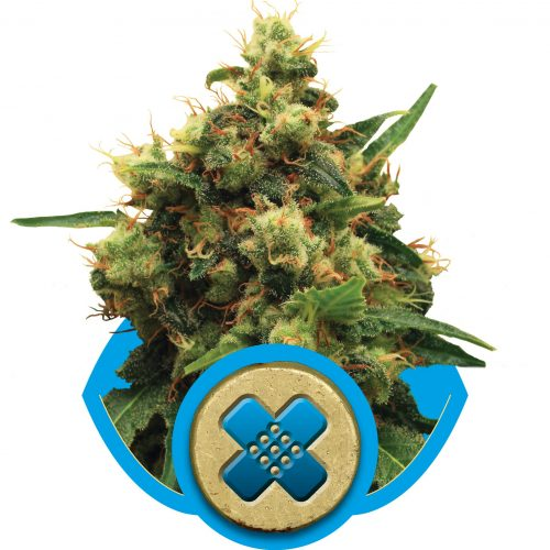 Painkiller XL Feminized - 420seeds.ca