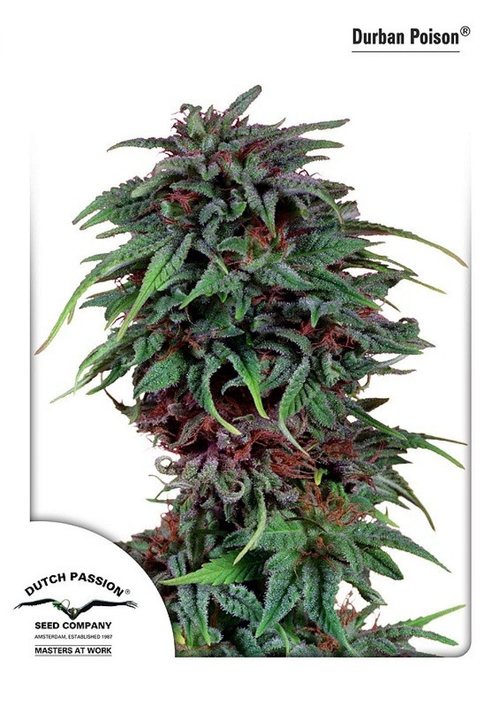 Durban Poison Feminized - 420seeds.ca