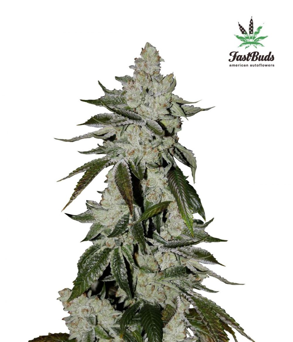 Girl Scout Cookies Auto Feminized - 420seeds.ca