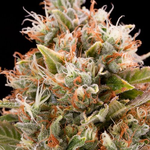 Chemdawg Feminized - 420seeds.ca