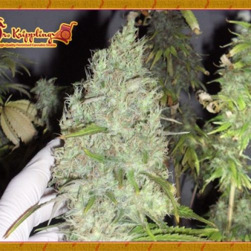 The Incredible Bulk Feminized - 420seeds.ca