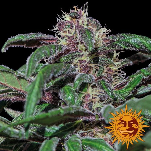 Ayahuasca Purple Feminized - 420seeds.ca