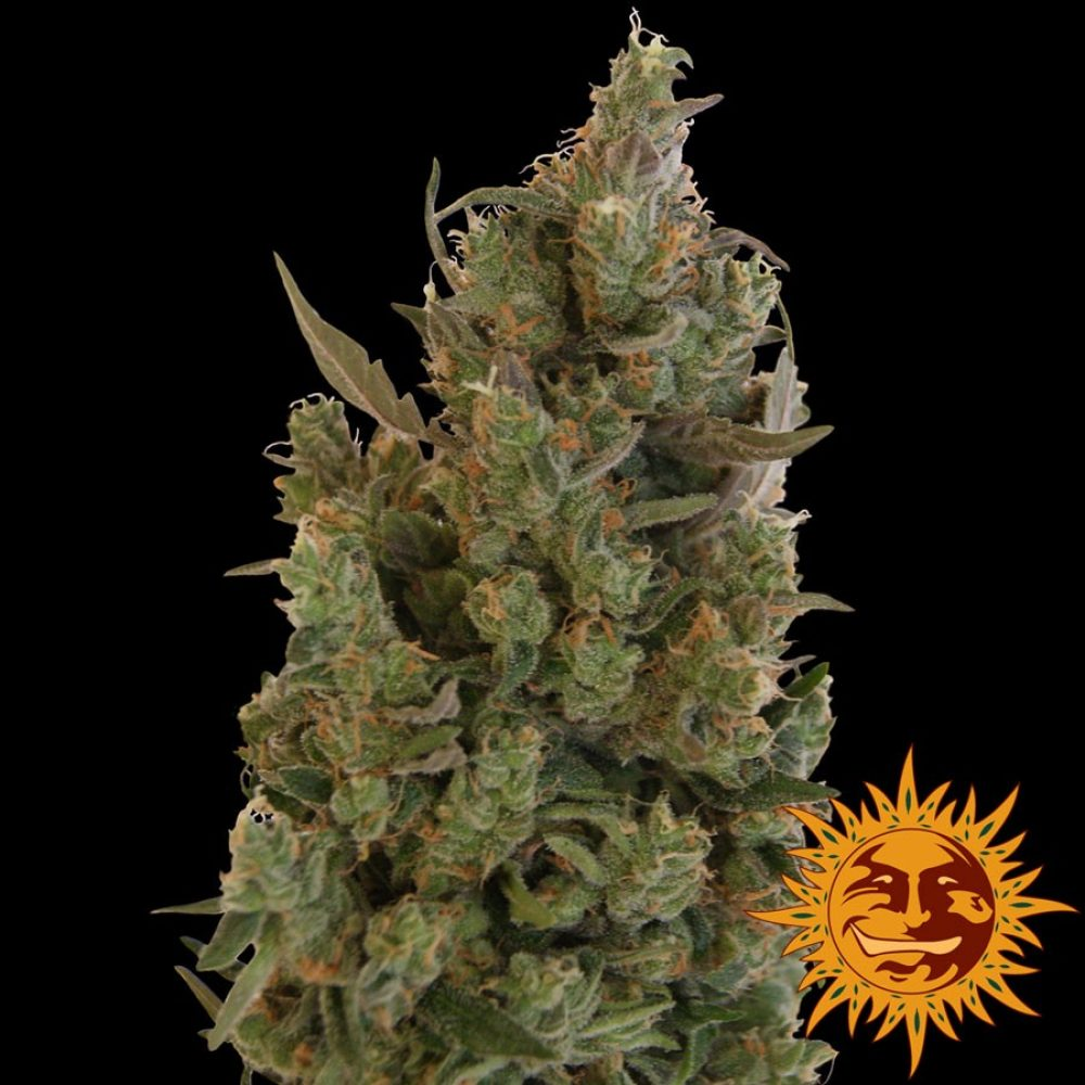 Blue Cheese Feminized - 420seeds.ca