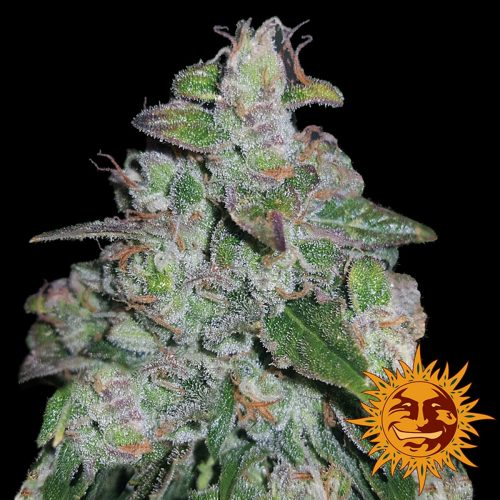 Blueberry OG Feminized - 420seeds.ca