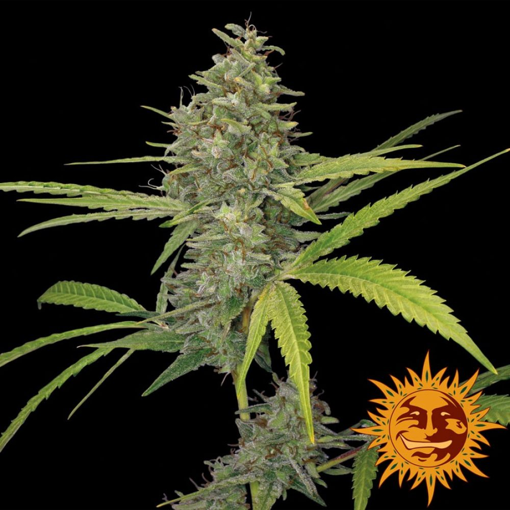 G13 Haze Feminized - 420seeds.ca