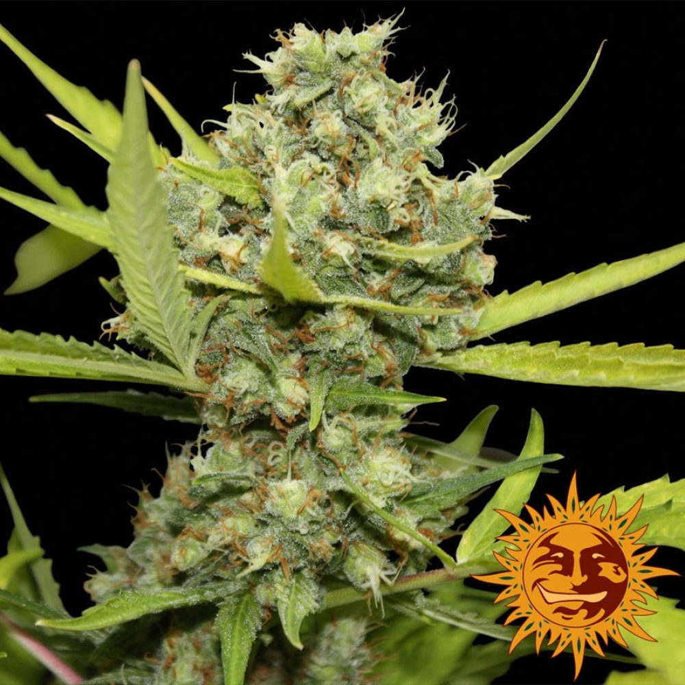 Pineapple Chunk Feminized - 420seeds.ca