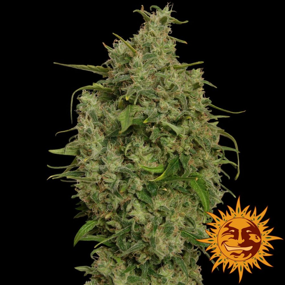 Sweet Tooth Feminized - 420seeds.ca