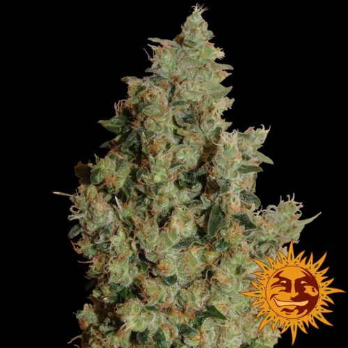 Tangerine Dream Feminized - 420seeds.ca