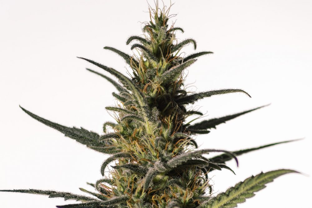 Candida (CD - 1) Feminized - 420seeds.ca