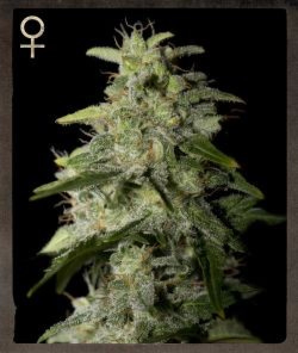 Money Maker Feminized - 420seeds.ca