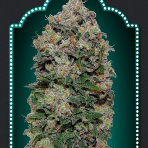Northern Lights Feminized - 420seeds.ca