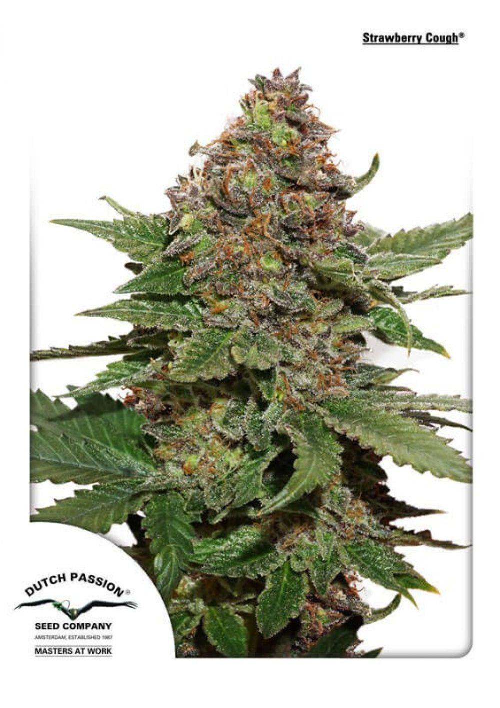 Strawberry Cough Feminized - 420seeds.ca