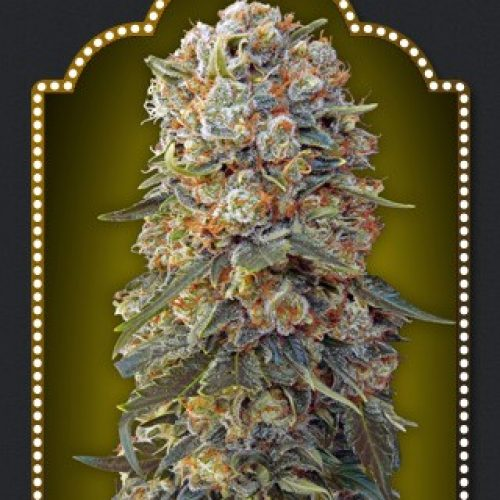 Sweet Critical Feminized - 420seeds.ca