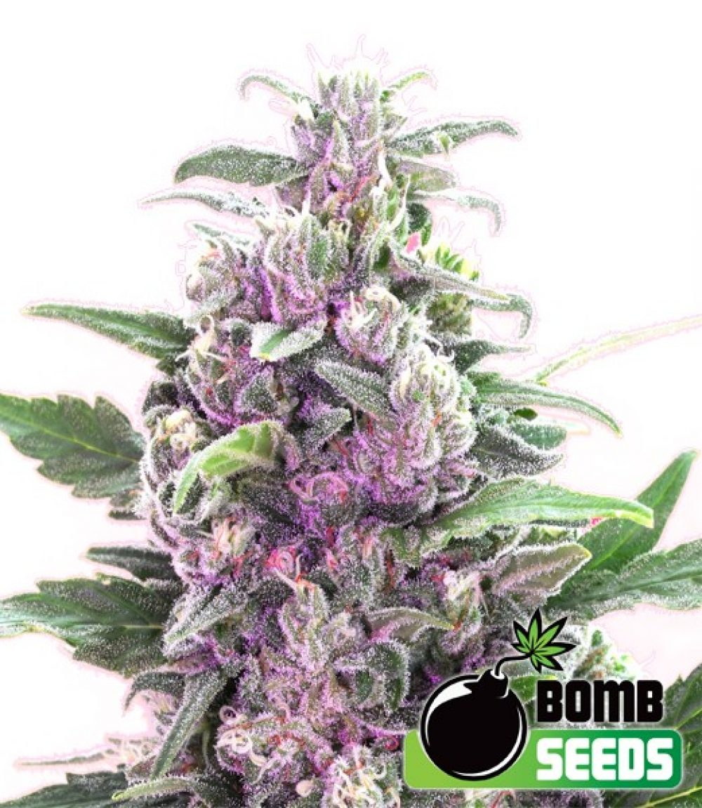 THC Bomb Feminized - 420seeds.ca
