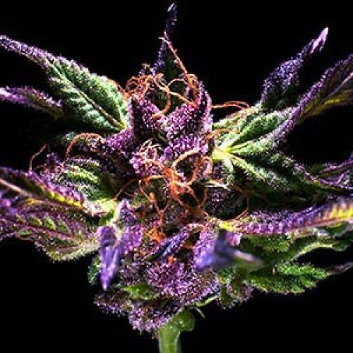 Grand Daddy Purple Feminized - 420seeds.ca