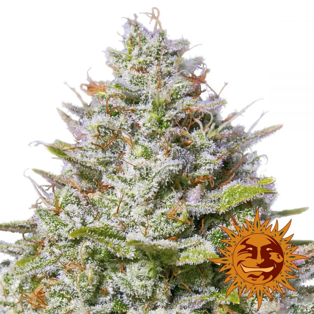 Blue Gelato 41 Feminized - 420seeds.ca