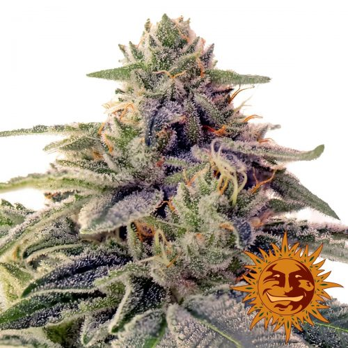 Shiskaberry Feminized - 420seeds.ca