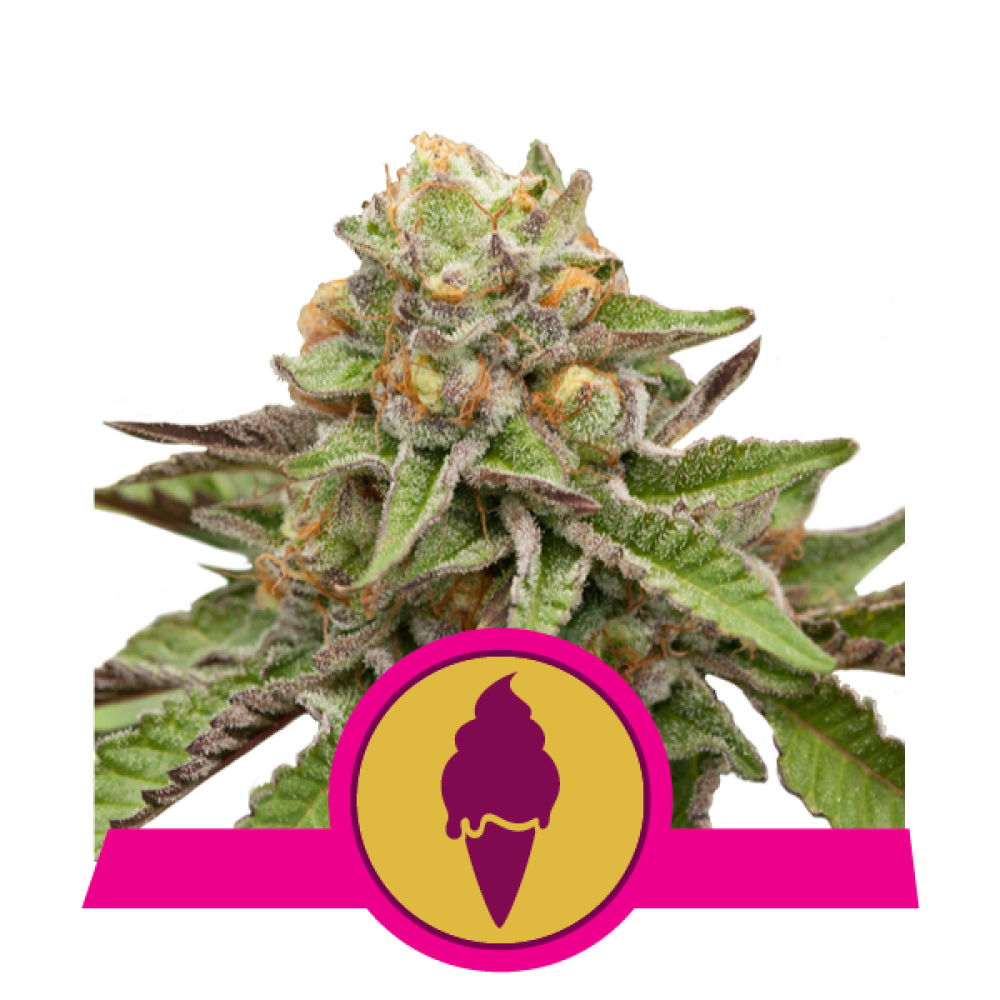 Green Gelato Feminized - 420seeds.ca
