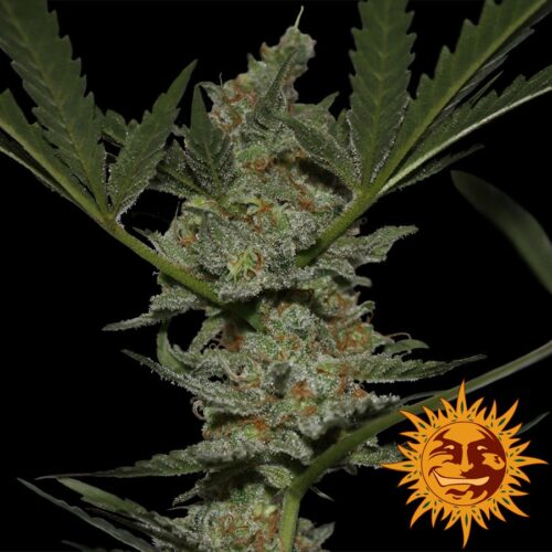 Acapulco Gold Feminized - 420seeds.ca