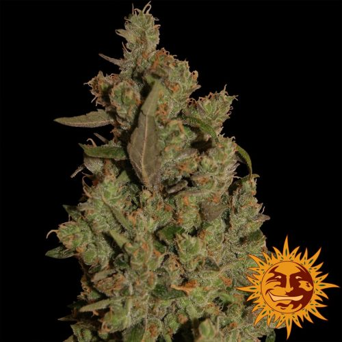 Critical Cure CBD Feminized - 420seeds.ca