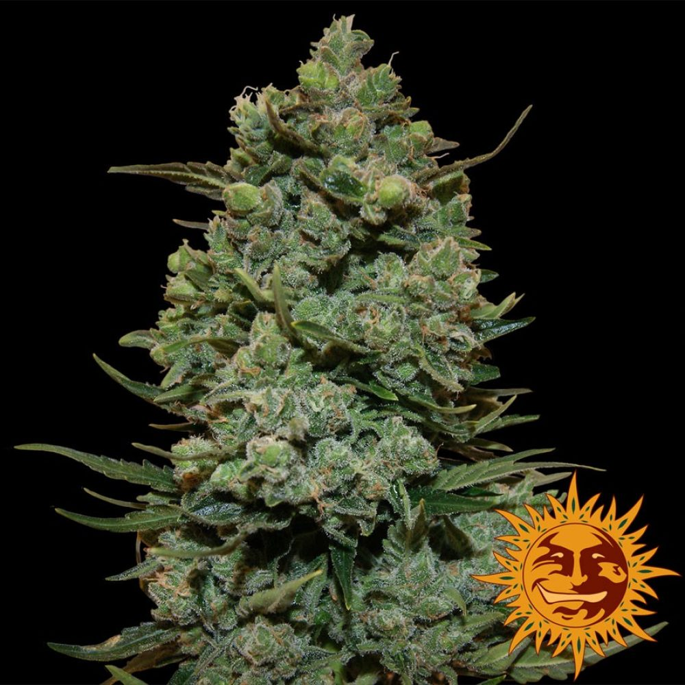 Cookies Kush Feminized - 420seeds.ca