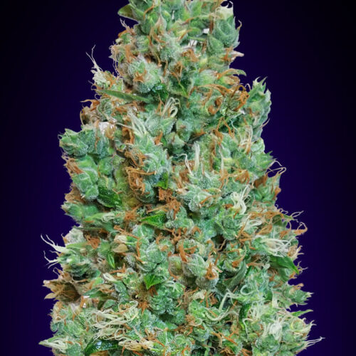 Blueberry Auto Feminized - 420seeds.ca
