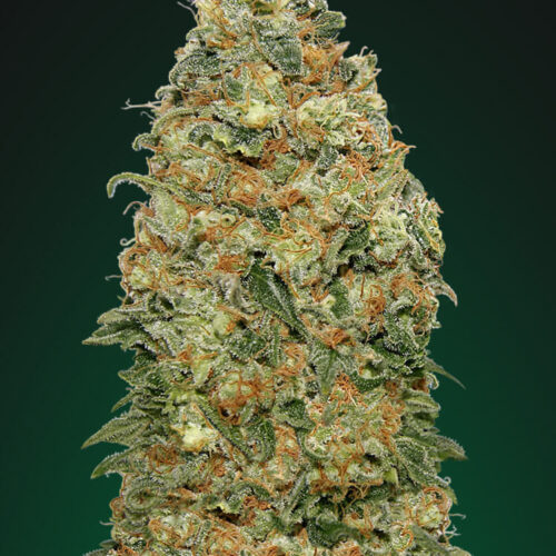 White Widow Feminized - 420seeds.ca